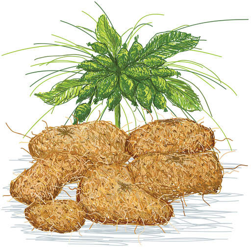 Hawaiian arrowroot illustration
