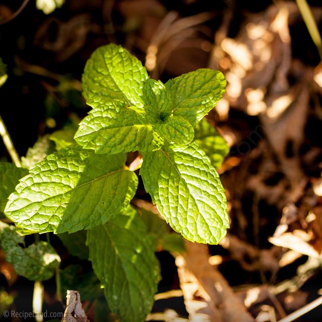 Mint in the garden