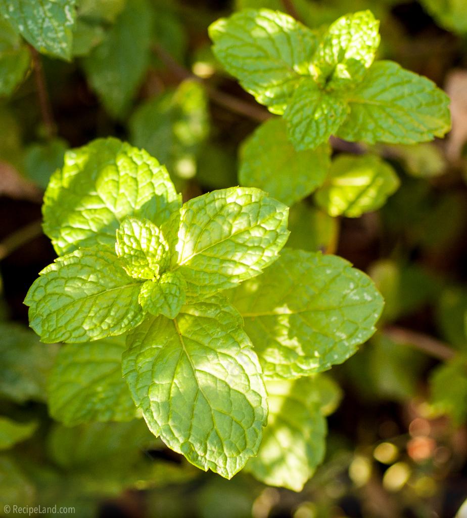 Fresh mint close-up