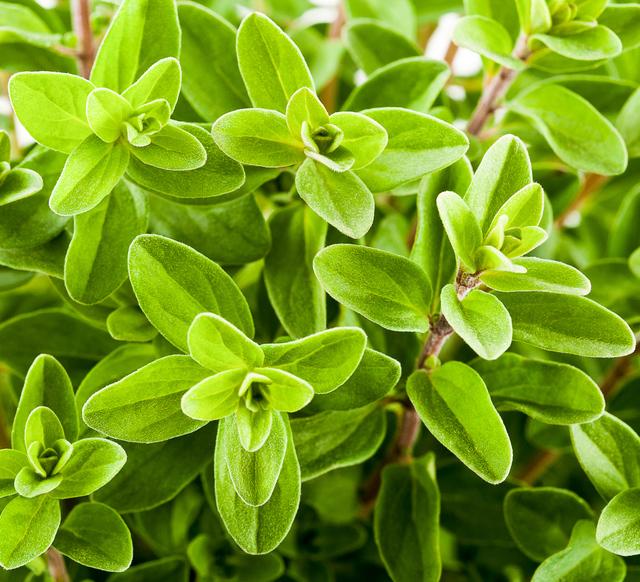 Garden fresh marjoram