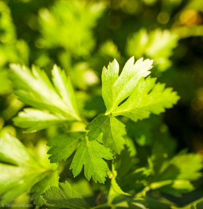 Italian parsley close-up