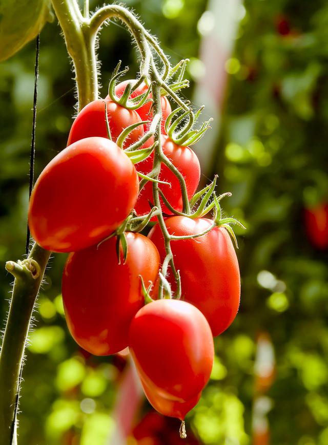 Italian plum roma tomatoes